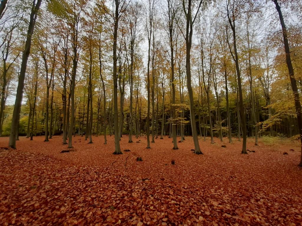 Herbstfärbung Buchen