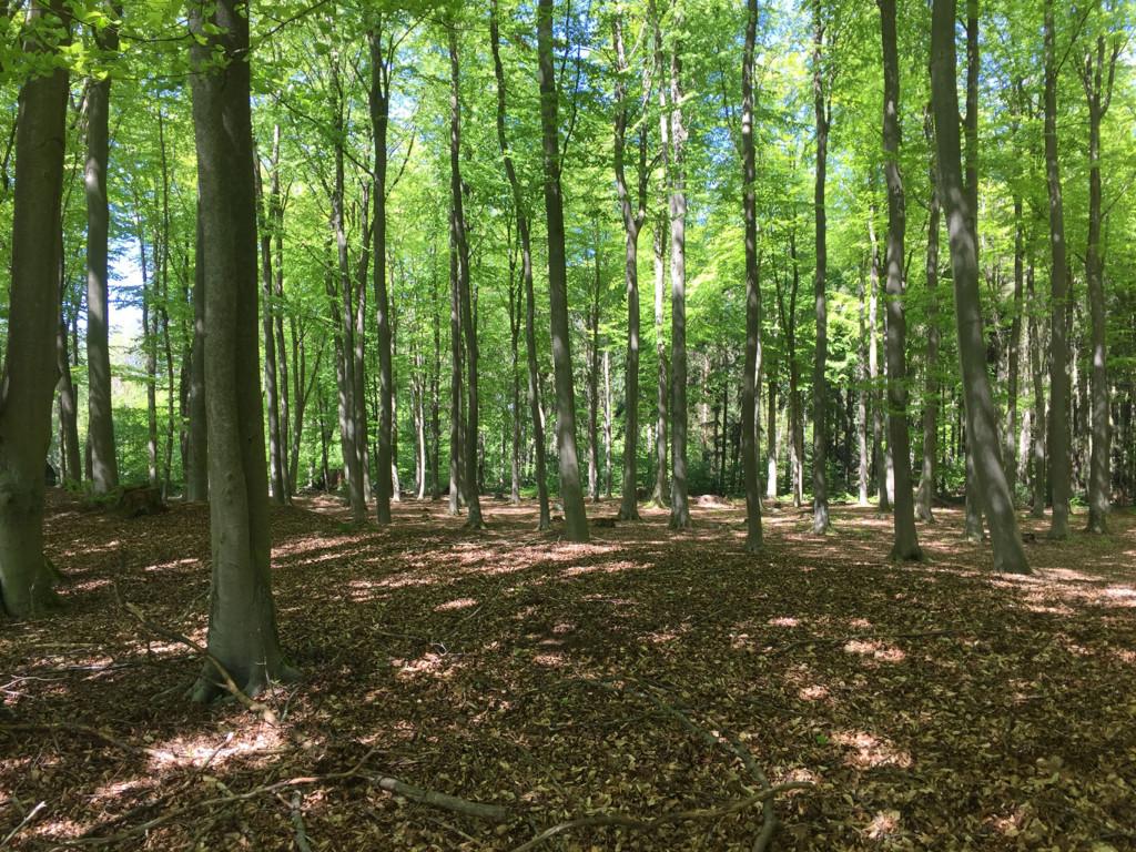 Alte Buchen im Mecklenburger Forst bei Lübz